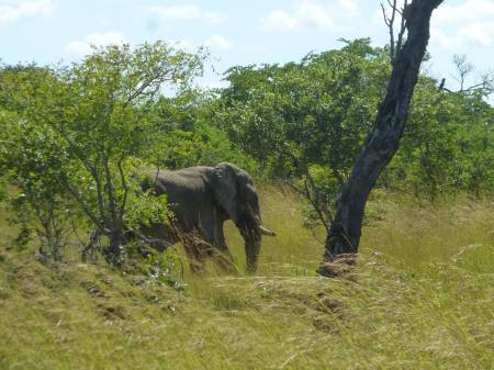 Survival School team members saw this elephant feeding on the side of the road on the long drive to Mongu.